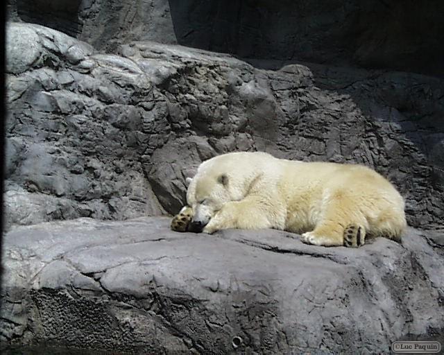 Polar Bear Mk01